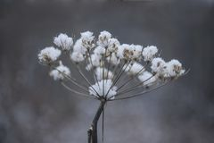 Cow Parsnip after light Snow. A spent cow parsnip flower cluster is covered with fresh snow and isolated on a grey blurred background royalty free stock images
