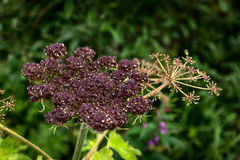 Cow Parsnip Seeds Royalty Free Stock Photography