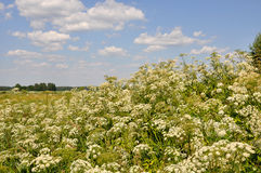 Cow Parsnip Sosnowski Royalty Free Stock Images