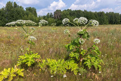Cow parsnip in summer Stock Photos