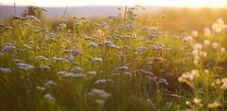 Cow parsnip at sunset. Backlit by the evening sun Stock Photo