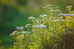 Cow parsnip at sunset. Green background Stock Image