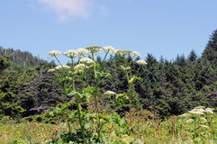 Cow Parsnip Royalty Free Stock Photos