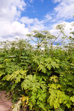 Cow parsnip or the toxic hogweed blossoms. On blue sky background royalty free stock photo