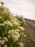 Cow parsnip Weed. Poisonous plant. Heracleum. Big hogweed. Deadly royalty free stock photo