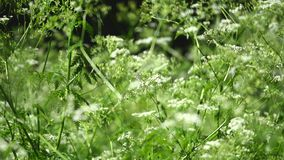 Cow parsnip Weed. Poisonous plant. Selective focus. Cow parsnip Weed Poisonous plant Selective focus stock video