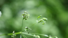 Cow parsnip Weed. Poisonous plant. Selective focus. Cow parsnip Weed Poisonous plant Selective focus stock footage