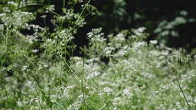 Cow parsnip Weed. Poisonous plant. Selective focus. Cow parsnip Weed Poisonous plant Selective focus stock video footage