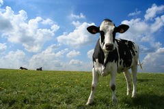 Cow in pasture stock image