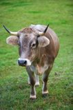 Cow in pasture. Cow in green pasture. vertical composition royalty free stock images