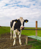 Cow on pasture Royalty Free Stock Photos