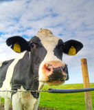 Cow on pasture Royalty Free Stock Photography
