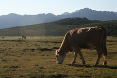 Cow on a pasture. In mountains royalty free stock photo