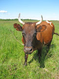 Cow at the pasture Royalty Free Stock Photography