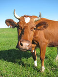 Cow at the pasture Royalty Free Stock Photo