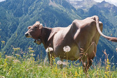 Cow on pasture Royalty Free Stock Image