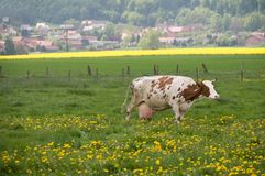 Cow in the pasture. Royalty Free Stock Photography