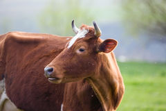 Cow on a pasture. On a green grass Royalty Free Stock Image