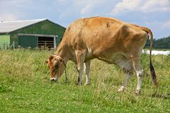 Cow in pasture Stock Images