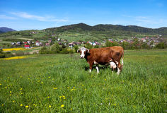 Cow on a pasture Stock Image