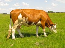 The cow in pasture. Stock Photos