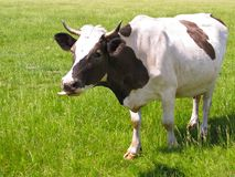 The cow in pasture Royalty Free Stock Photos
