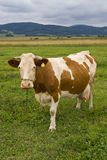 Cow on a pasture Stock Photo
