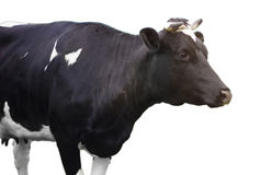 Cow in Pasture Stock Photos
