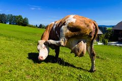 Cow on a pasture Royalty Free Stock Images