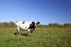 Cow on the pasture Stock Image