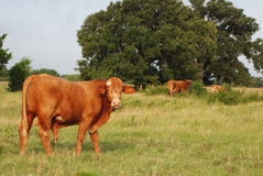 Cow in Pasture. Red colored cow in pasture, staring at the camera stock images