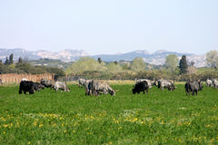 Cow pasture. Livestock grazing on new spring grass Stock Photos