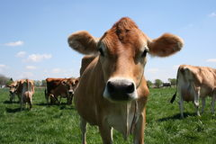 Cow in Pasture stock photo