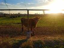 Cow. A cow in pasture Royalty Free Stock Images