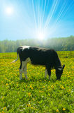Cow in a pasture. Agriculture, animal, black, blue Royalty Free Stock Photo