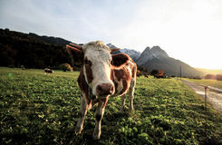 Cow on pasture Royalty Free Stock Images