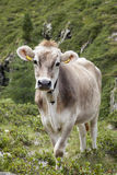 Cow on pasture in alpine mountain area. Stock Photos