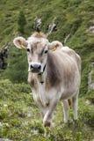 Cow on pasture in alpine mountain area. Stock Photos