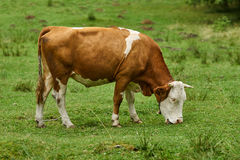 Cow on a pasture in the alps Stock Photos