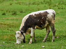 Cow on a pasture in the alps Stock Images