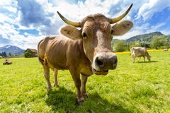 Cow, Pasture, Animal, Almabtrieb Stock Images