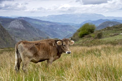 Cow on a pasture Asturias Royalty Free Stock Images