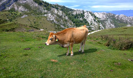 Cow in a pasture in Asturias, Spain Stock Image