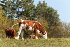 Cow on pasture.  Autumn on the agricultural farm. Cattle breeding Royalty Free Stock Photos