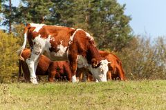 Cow on pasture.  Autumn on the agricultural farm. Cattle breeding Stock Photo