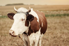 Cow on pasture in autumn Royalty Free Stock Images