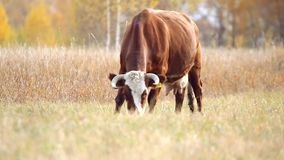 Cow at the pasture in the autumn stock footage