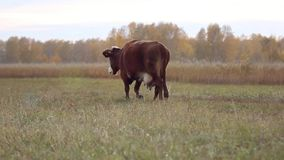 Cow at the pasture in the autumn stock video