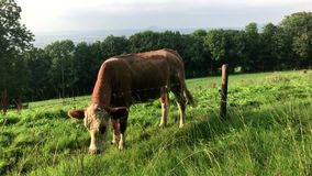 Cow on a pasture with barbed wire stock video footage