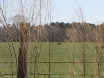 Cow Pasture Stock Images